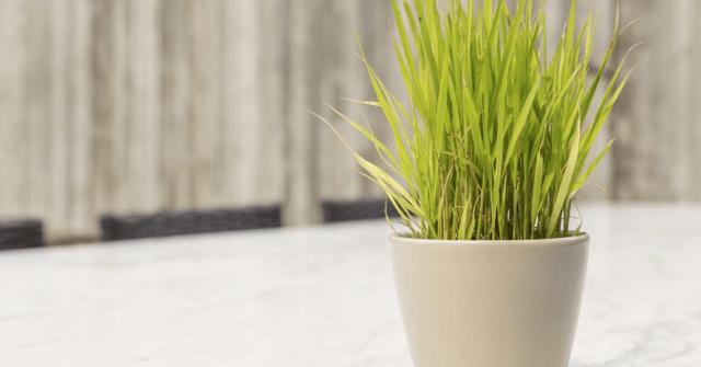 How to grow lemongrass indoors