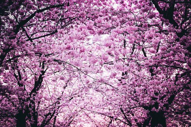 National Cherry Blossom Festival in Washington DC