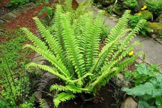 How to grow sword ferns from spores