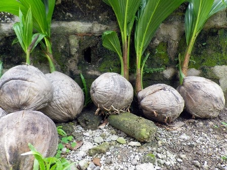Growing-a-coconut-tree-from-a-store-bought-coconut