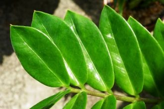 propagate ZZ plant from leaf in water