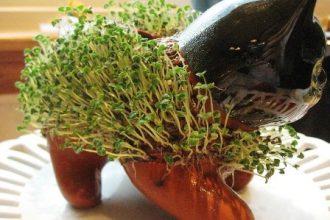 grow chia seeds