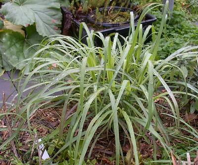 lemongrass care